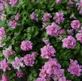 erodium variabele flore pleno_001